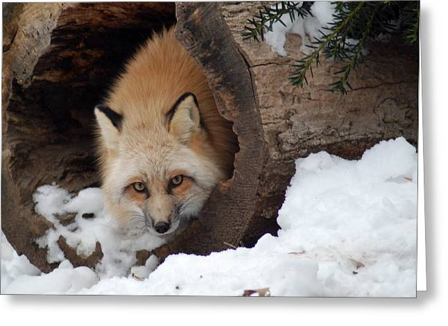 Greeting Card featuring the photograph Winter Fox by Richard Bryce and Family