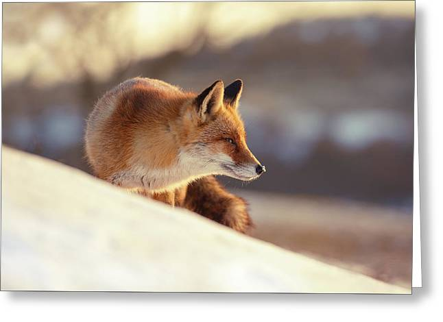 Winter Fox Warmed By The Sun Greeting Card