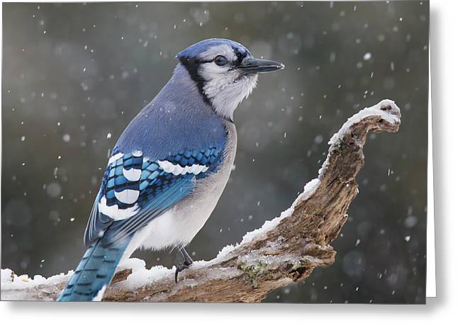 Greeting Card featuring the photograph Winter Jay by Mircea Costina Photography