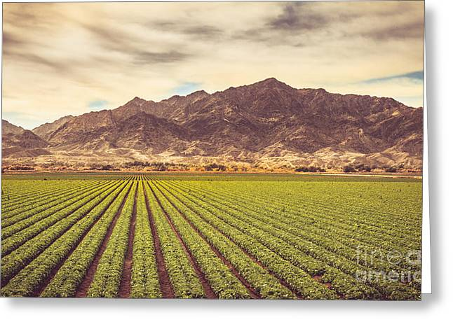 Winter Lettuce Greeting Card by Robert Bales
