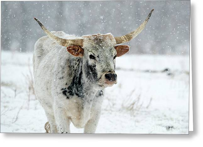 Winter Longhorn Greeting Card by Mike Dawson