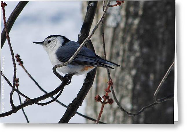 Greeting Card featuring the photograph Winter Nut Hatch by Al Fritz