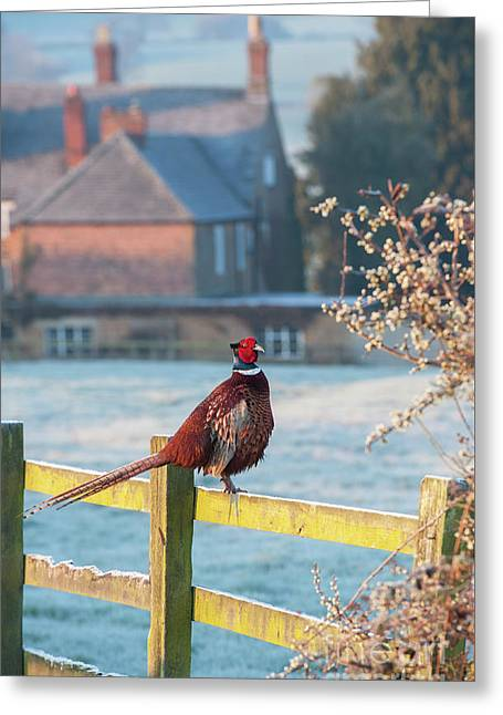 Winter Pheasant Greeting Card by Tim Gainey