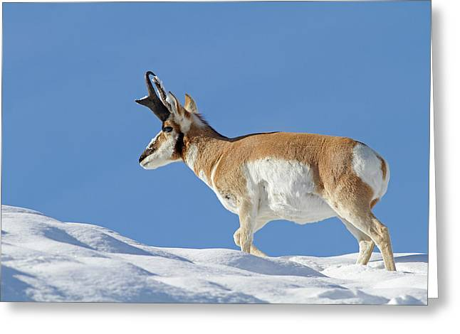 Winter Pronghorn Buck Greeting Card