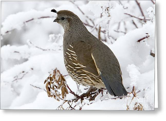 Winter Quail Greeting Card by Mike Dawson