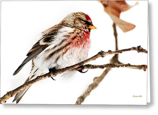 Winter Redpoll Greeting Card by Christina Rollo