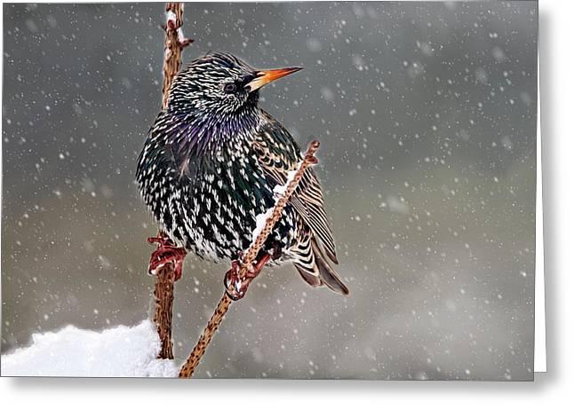 Winter Starling 2 Greeting Card