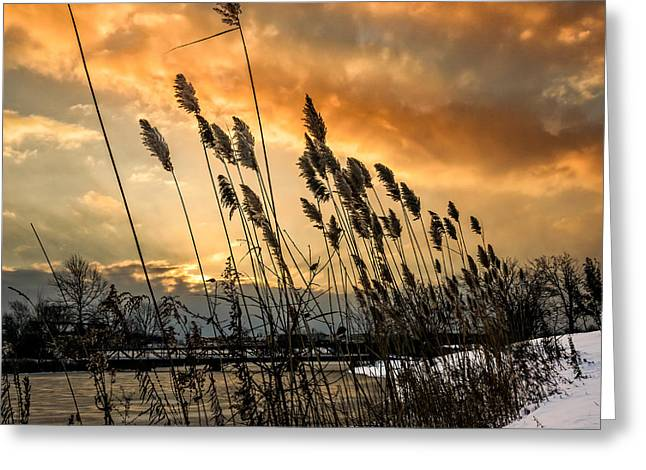Winter Sunrise Through The Reeds - Square Greeting Card