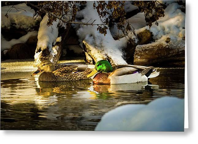 Winter Visitors - Mallard Ducks Greeting Card
