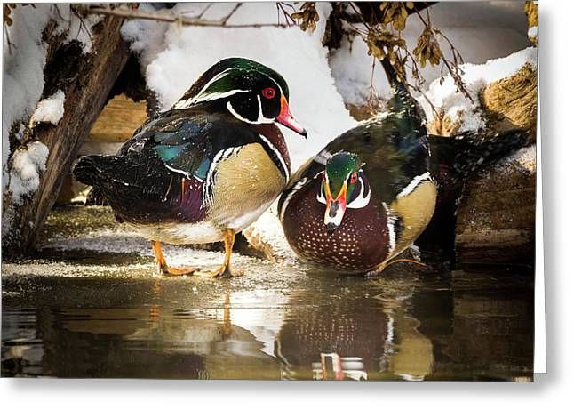 Winter Visitors - Wood Ducks Greeting Card