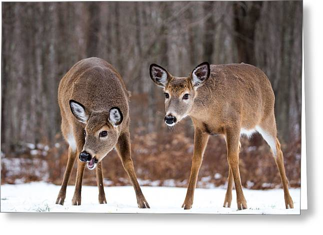 Winter White Tail Deer Greeting Card by Karol Livote