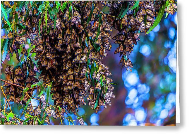 Wintering Monarch Butterflies Greeting Card