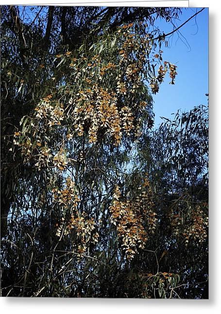 Wintering Monarchs In Eucalyptus Greeting Card by Mary Lee Dereske
