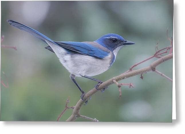 Greeting Card featuring the photograph Wintering Scrub Jay by Angie Vogel