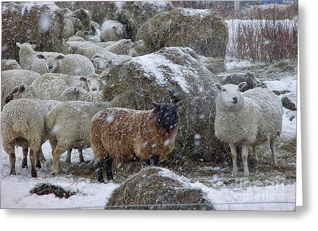 Wintering Sheep Greeting Card