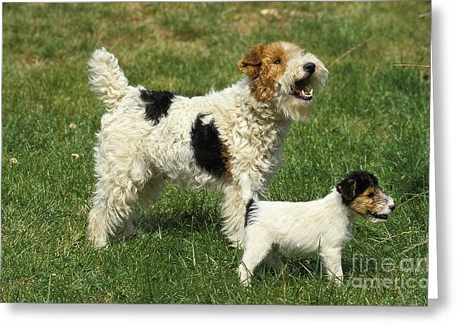 Wire-haired Fox Terrier Greeting Card by Gerard Lacz