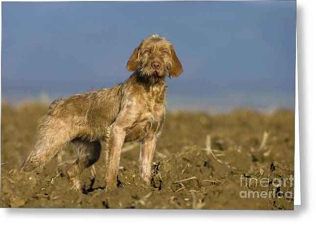 Wirehaired Vizsla Greeting Card by Jean-Louis Klein & Marie-Luce Hubert
