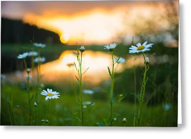 Wisconsin Daisies At Sunset Greeting Card