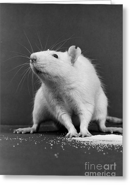 Wistar Rat Greeting Card by Science Source