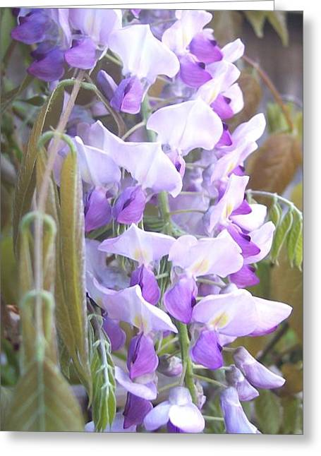 Wisteria Greeting Card by Jean Booth