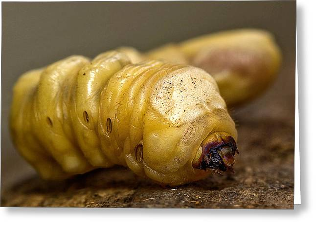 Witchetty Grub Greeting Card by Kevin Chippindall