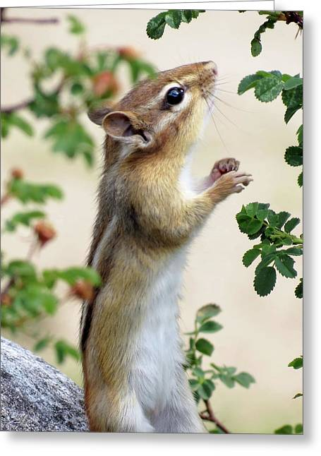 Within Reach - Chipmunk Greeting Card