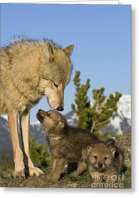 Wolf Babysitter Greeting Card by Jean-Louis Klein & Marie-Luce Hubert
