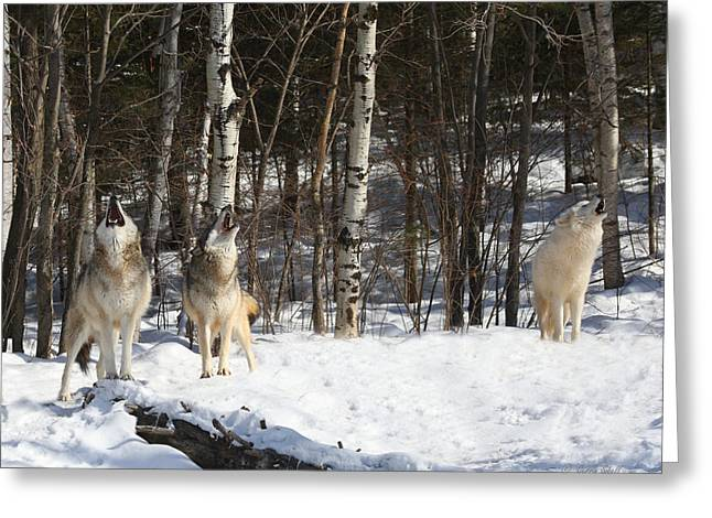 Wolf Choir Greeting Card by Gerry Sibell