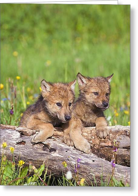 Howl Greeting Cards - Wolf Cubs On Log Greeting Card by John Pitcher