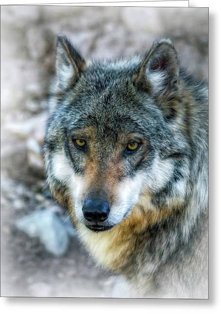 Wolf Gaze Greeting Card