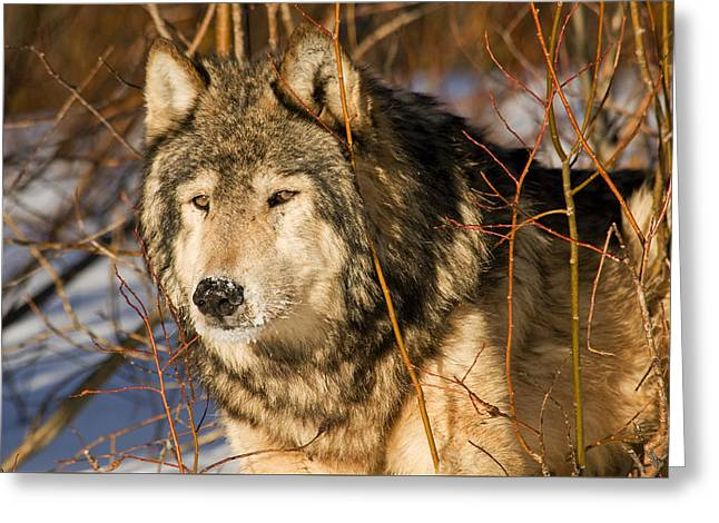 Wolf In Brush Greeting Card