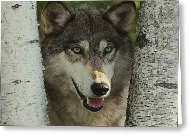 Wolf In The Birch Trees Greeting Card by Myrna Bradshaw