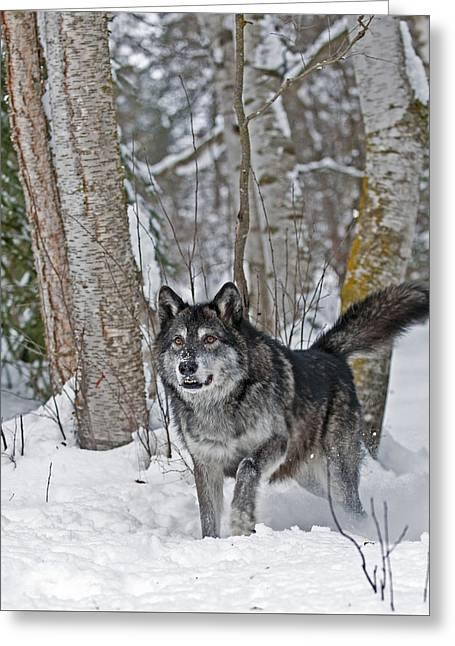 Wolf In Trees Greeting Card