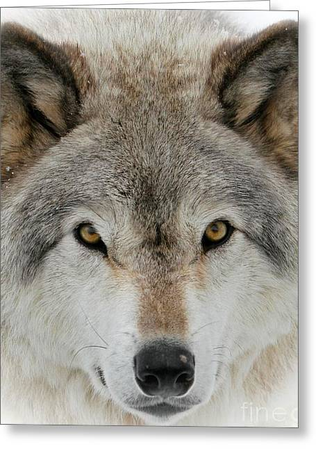 Wolf Portrait Greeting Card by Heather King