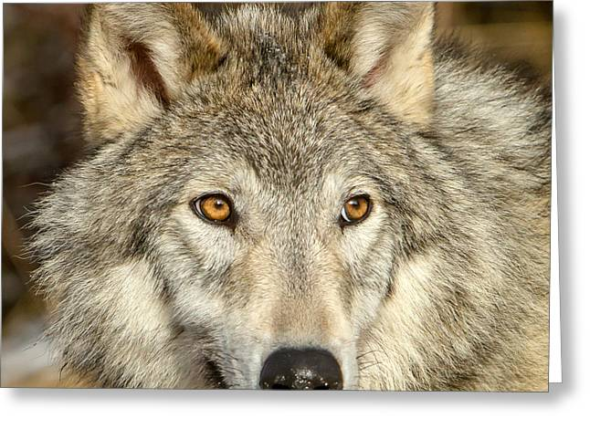 Wolf Portrait Greeting Card by Jack Bell