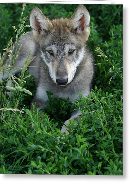 Wolf Pup Portrait Greeting Card by Shari Jardina