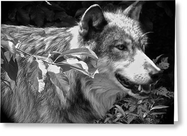 Wolf From The Forest Greeting Cards - Wolf Run Greeting Card by Debra     Vatalaro
