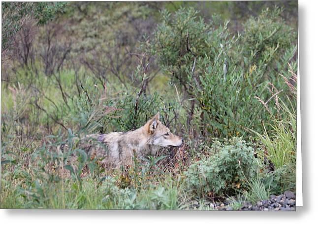 Wolf Stalking Bird Greeting Card