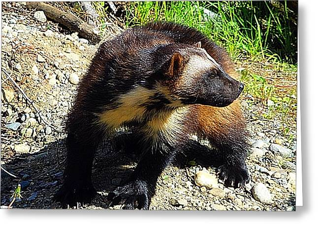 Wolverine Wilderness Greeting Card by Kathy Kelly