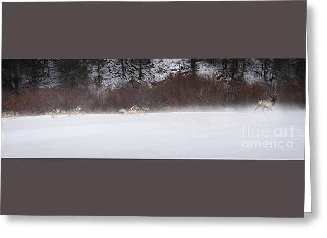 Wolves Chasing Elk Greeting Card by Wildlife Fine Art