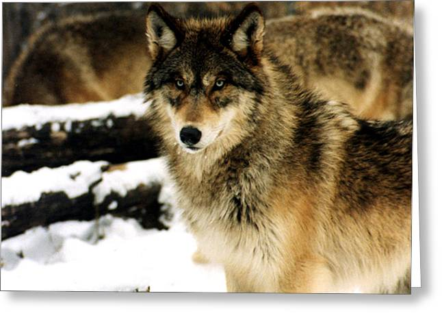 Wolves In The Snow Greeting Card by PhotographyAssociates