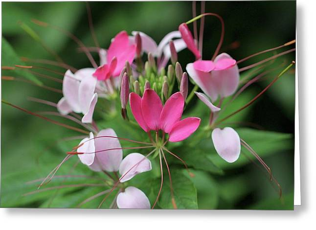 Greeting Card featuring the photograph Wonders Of Cleome by Deborah  Crew-Johnson