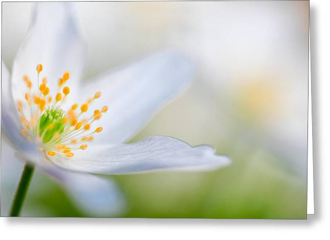 Wood Anemone Spring Flower Detail Greeting Card