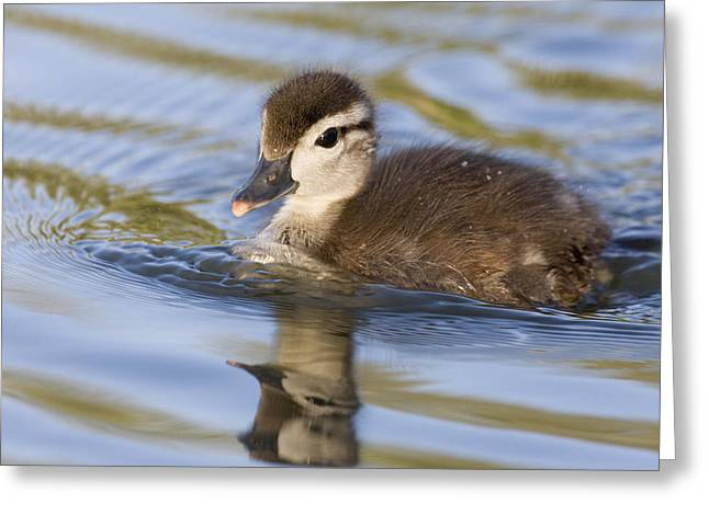 Wood Duck Duckling Swimming Santa Cruz Greeting Card by Sebastian Kennerknecht