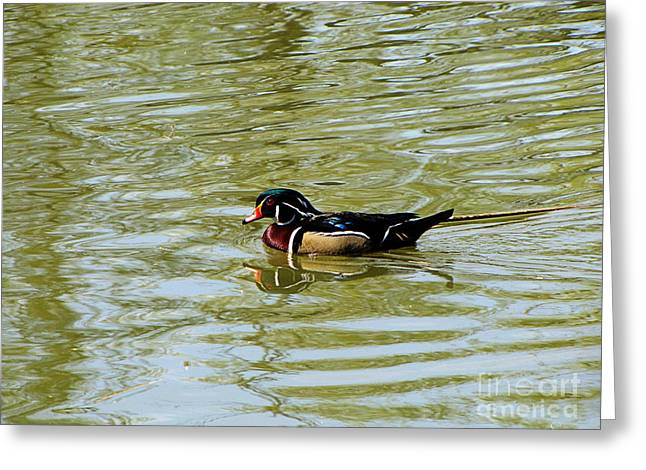 Wood Duck Greeting Card by September  Stone