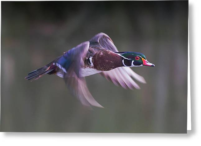 Wood Duck Flight Greeting Card
