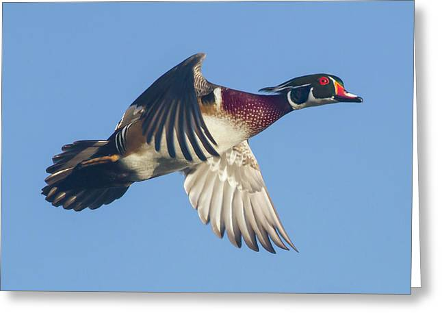 Wood Duck Flying Fast Greeting Card