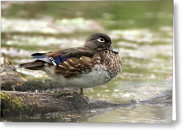 Wood Duck Hen Greeting Card
