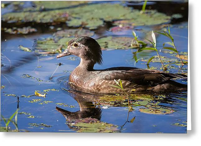 Wood Duck Hen Portrait Greeting Card