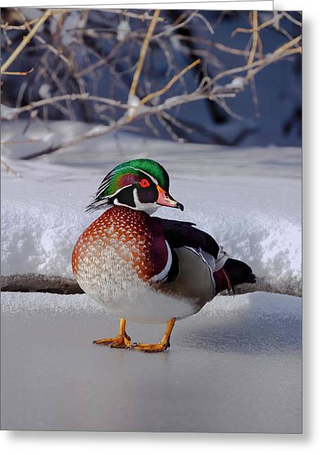 Wood Duck In Winter Snow And Ice, Montana, Usa Greeting Card